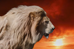 King lion. Majestic king lion at sunset Royalty Free Stock Photo