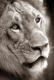 King - Lion Stock Image