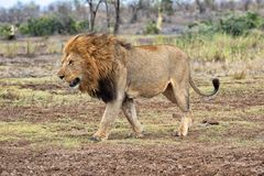 The king lion. At kruger stock photography