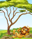 A king lion lying down near the tree Royalty Free Stock Photography