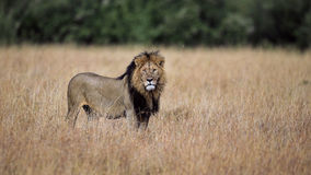 The King, lion in Masai Mara. Majestic male lion looking at us, on a grassland in the African savannah stock image