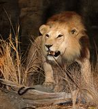 The King. Lion in a Puerto Rico Zoo Stock Images