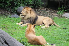 King lion and Queen lioness. Two great hunters relaxing after breakfast stock photos