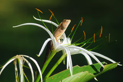 King Lizard. A nice lizard has a rest on a flower to get warm form the sun stock photography