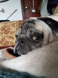 King louie. Pug puglife nap Stock Photography