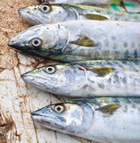 King Mackerel fish Royalty Free Stock Images
