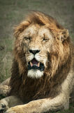 King of the Masai Mara. The majestic King of the Savanah, the Male Lion showing his regal mane Royalty Free Stock Images