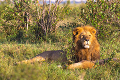 King of Masai Mara. Portrait of lion. Kenya. Africa Royalty Free Stock Photos