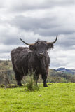 King of the Meadow - Incredible Scottish Cattle Royalty Free Stock Photos