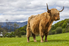King of the Meadow - Incredible Scottish Cattle Stock Images