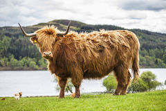 King of the Meadow - Incredible Scottish Cattle Royalty Free Stock Photo