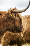 King of the Meadow - Incredible Scottish Cattle Royalty Free Stock Photography