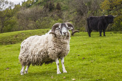 King of the Meadow - Incredible Scottish Sheep and Cattle Royalty Free Stock Photo