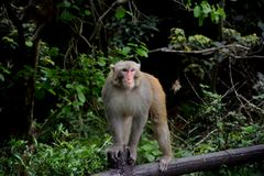 King of Monkey Royalty Free Stock Images