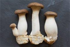 King oyster mushroom Pleurotus eryngii  on gray backgrou Royalty Free Stock Photo