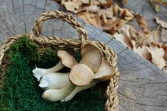 King oyster mushrooms in a basket on a tree trunk royalty free stock photo