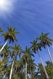 King palm trees with sun and rays Stock Image