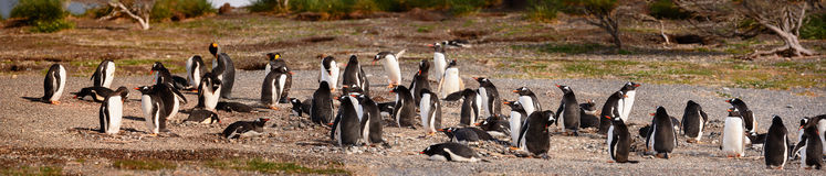 King and Papua penguins colony seaside Stock Images