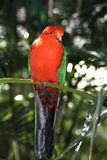 King-Parrot. Portrait of a Australien King-Parrot (alisterus scapularis royalty free stock photography