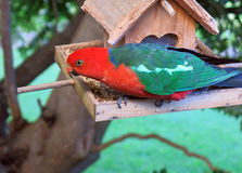 King Parrot. Brilliant Australian male King Parrot on bird feeder Royalty Free Stock Photography