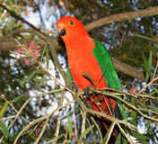 King parrot Alisterus scapularis Royalty Free Stock Photos