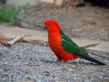 King parrot (Alisterus scapularis). A lovely king parrot feeding on the ground. Photo taken in Canberra, Australia Stock Images
