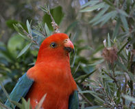 King parrot Alisterus scapularis royalty free stock photos