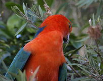 King parrot Alisterus scapularis royalty free stock photo