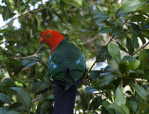 King parrot Alisterus scapularis Stock Photo