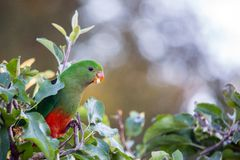 king parrot in apple tree with apple in beak stock photos