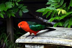 King Parrot on a Bench royalty free stock photos