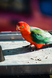 King Parrot bird standing on a wooden table. King parrot bird standing in the midst of food debris Stock Images