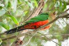King-parrot Stock Photos