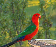 King Parrot in Drouin Victoria Australia. Georgeous red and green King Parrot in the early morning sun in Drouin Victoria Australia stock images