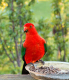 King Parrot in Drouin Victoria Australia. Georgeous red and green King Parrot in the early morning sun in Drouin Victoria Australia Stock Photography