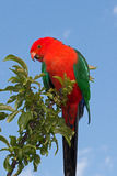 King Parrot in Drouin Victoria Australia. Georgeous red and green King Parrot in the early morning sun in Drouin Victoria Australia AUS Stock Photography