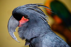 The King of Parrot head. On blurred and bokeh background Royalty Free Stock Images