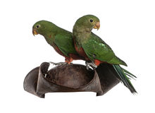 King Parrot isolated on white Stock Image