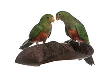 King Parrot isolated on white Stock Photography
