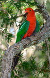 King parrot male in Australia. King parrot male in a rainforest in Queensland Australia Royalty Free Stock Photos