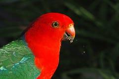 King Parrot Portrait. The red head of an Australian King Parrot(Alisterus scapularis) feeding taken on south coast of NSW Stock Photos
