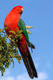 King Parrot showing off in Drouin Victoria Australia. Georgeous red and green King Parrot showing off in the early morning sun in Drouin Victoria Australia AUS Stock Images