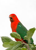 King Parrot squawking in Drouin Victoria Australia Stock Photography