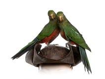 King Parrot  on white Royalty Free Stock Photo
