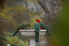 King Parrots drinking water from a Bird bath. During a drought in a rural Backyard, New South Wales, Australia stock photography