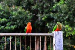 King Parrots Flirting Stock Images
