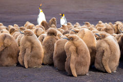 King Pencuin creche full of brown fluffy chicks. Stock Photos