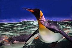 King penguin. In water with head above and blue background Stock Image