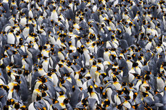 Free King Penguin Stock Photo - 25011610