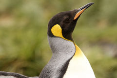 King Penguin Royalty Free Stock Photos
